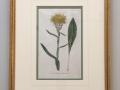 Dandelion_antique_print