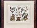 moths-antique-print